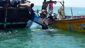 wti_tcl_whaleshark_2-rescued-whale-shark-swimming-back-to-freedom